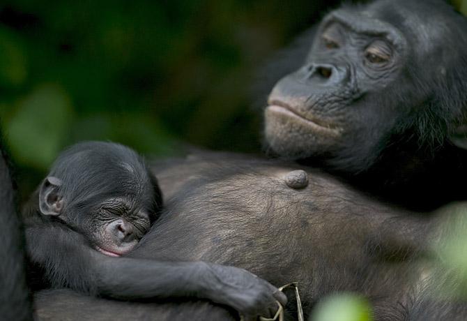 Карликовый шимпанзе