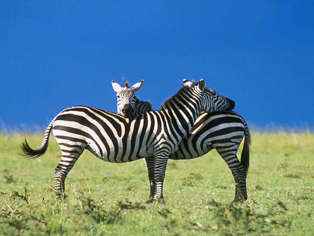 Обыкновенная зебра еще жива
