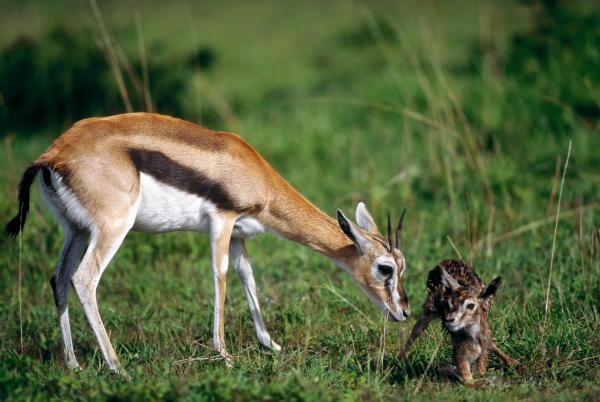 взрослая газель и ее детеныш