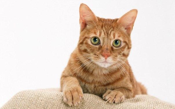 Нужно ли делать кастрацию кота