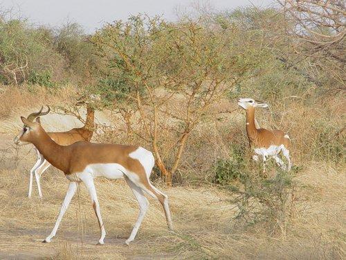 Пасущаяся группа газелей в пустыне