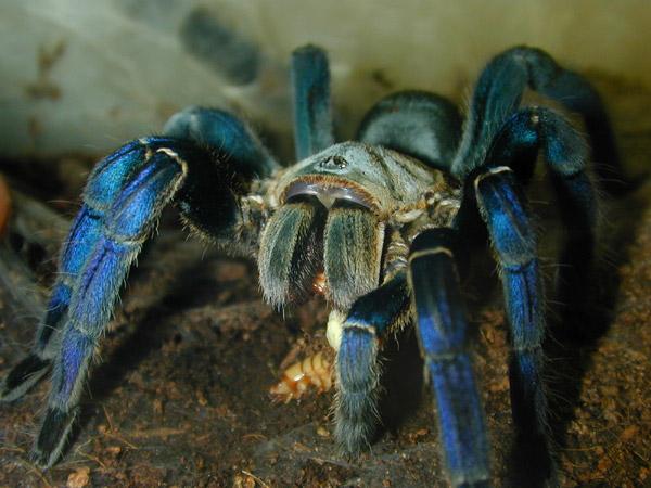 Структура тела тарантулов очень разнообразна