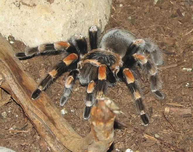 Строение ног тарантула