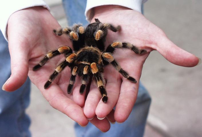 Брюшко тарантула