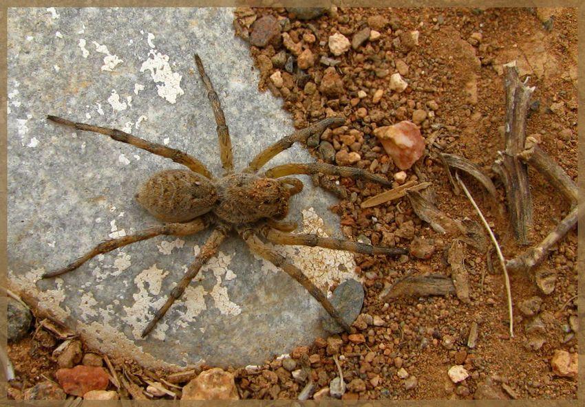 Зависит ли окрас тарантула от почвы?