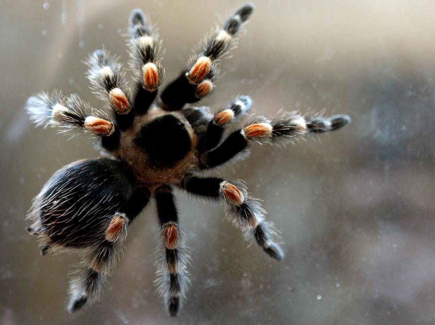 Исследования тарантула