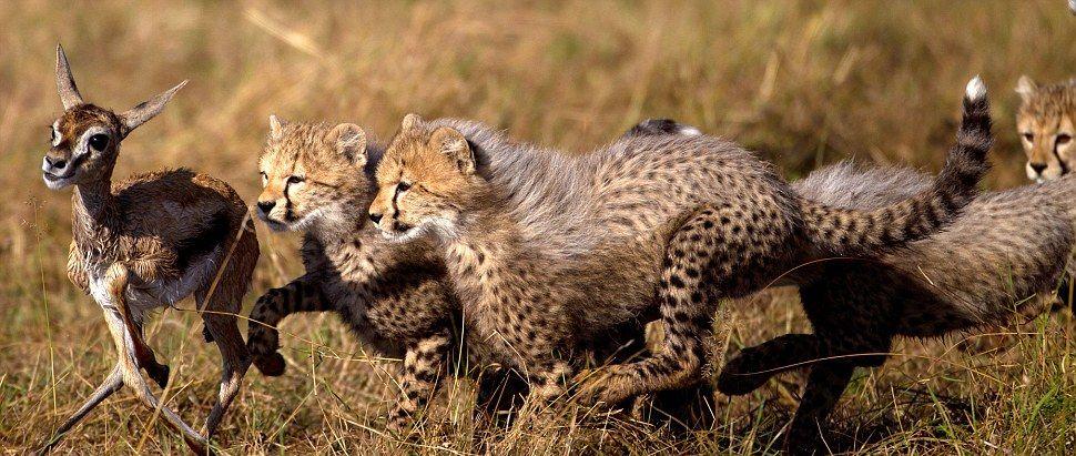 малыши гепарда охотятся
