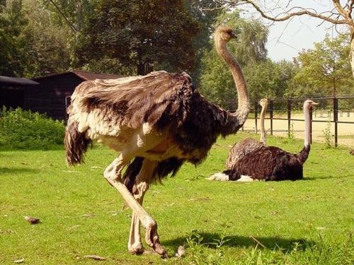 высокие страусы