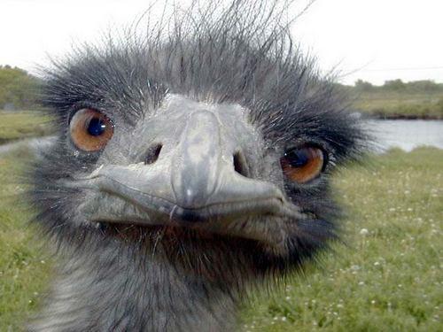 большой страус