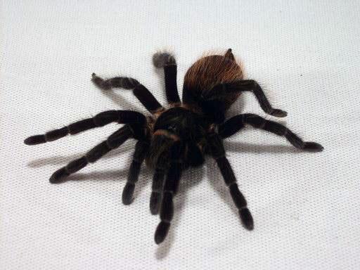 Топография семенников тарантулов