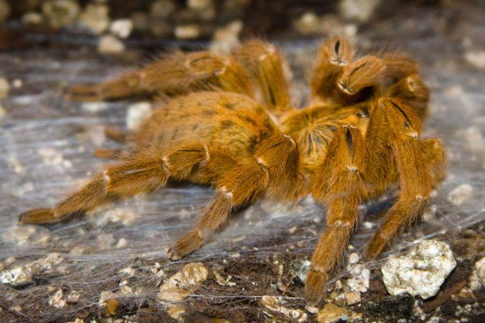 Развитие тарантула