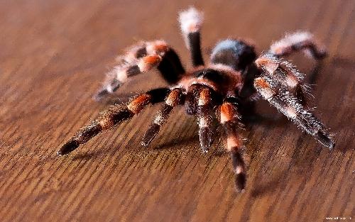 Конечности взрослого паука