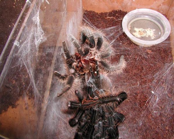 Паутина тарантулов