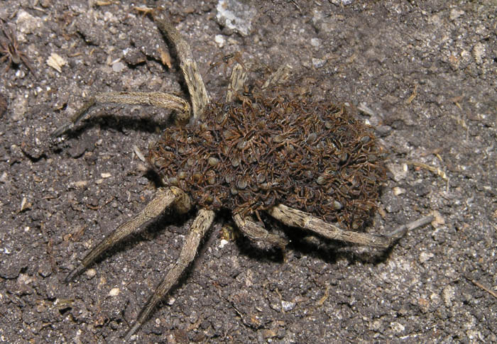 Самка с паучатами