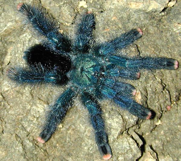Индикаторы обитания тарантула