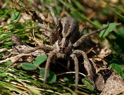 Самец тарантула