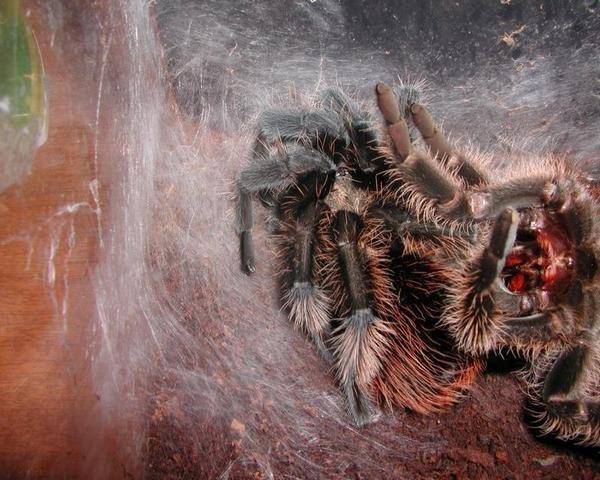 Жилище тарантула
