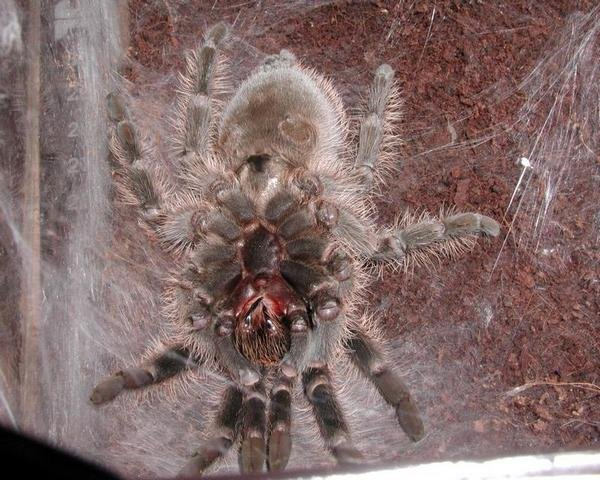Рытье нор тарантулами