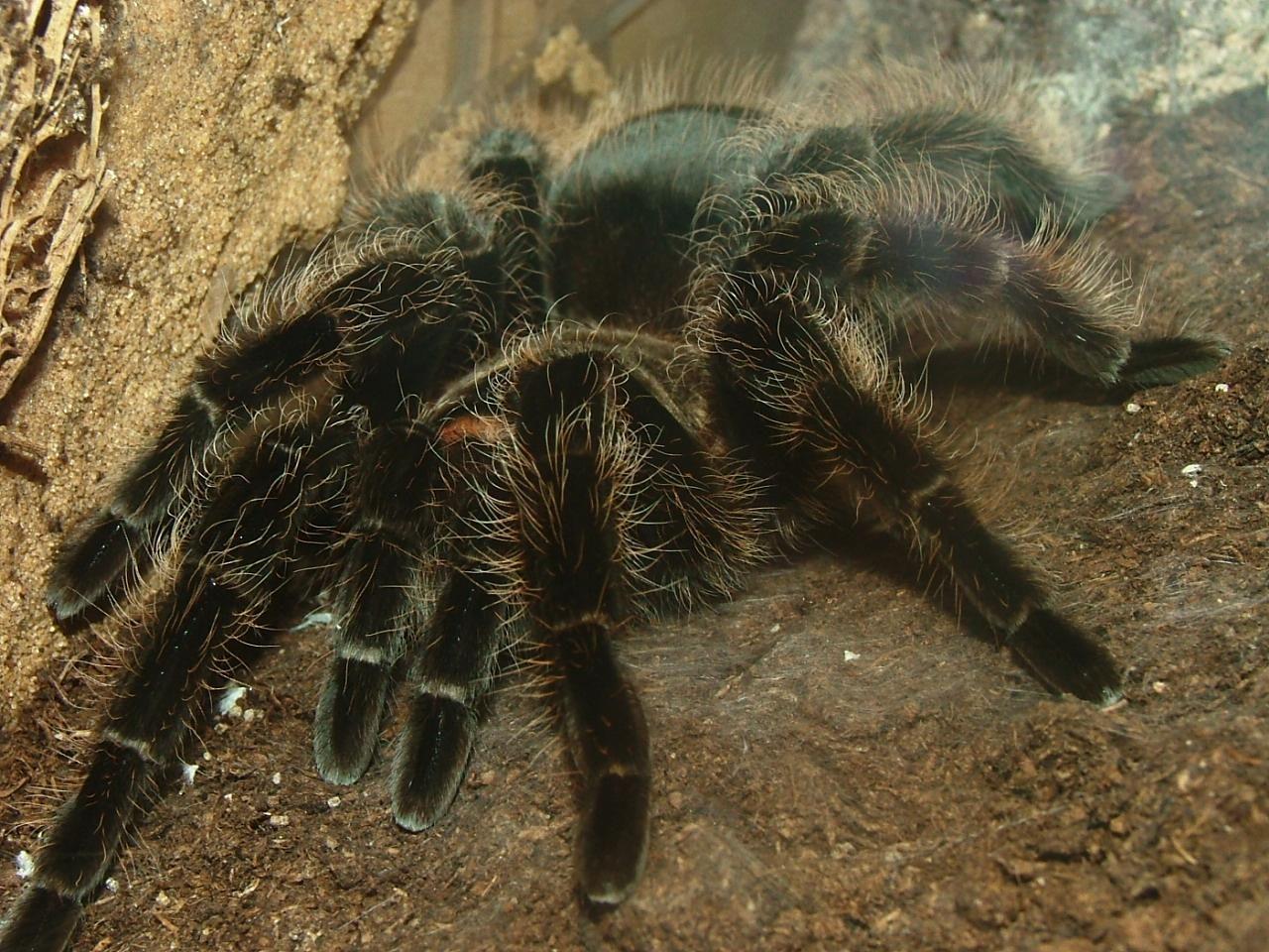Норы взрослых тарантулов