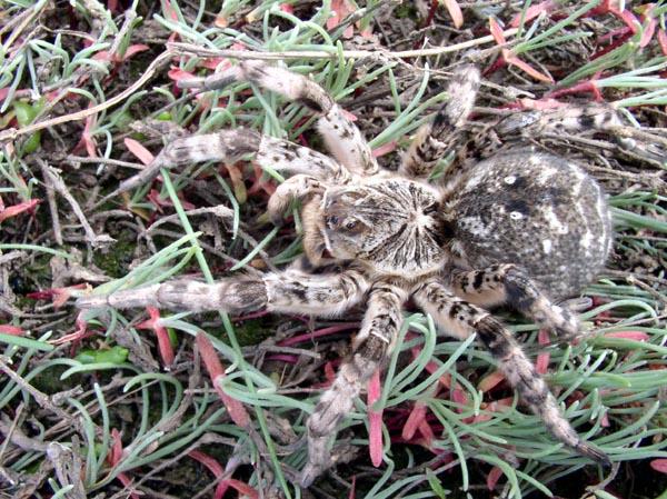 Маскировка тарантула