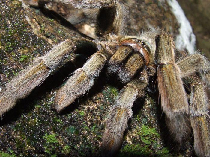Движение хелицер тарантула