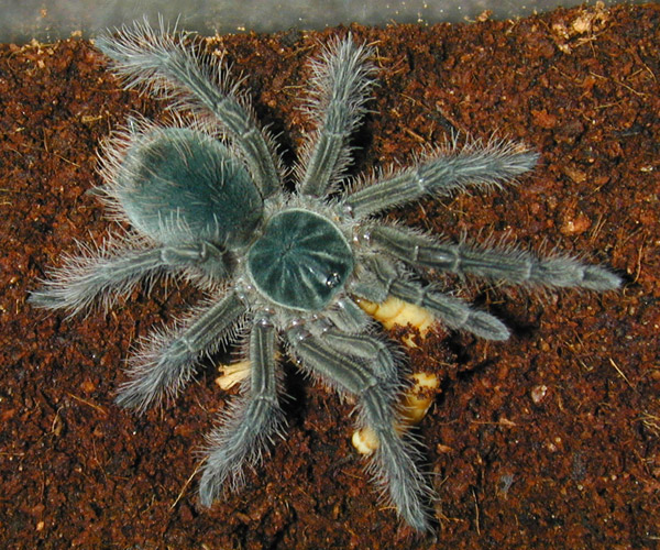 Ядовитые железы паука