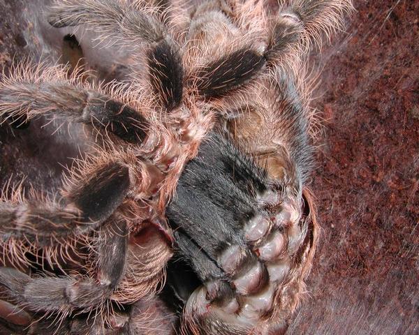 Ранящие органы многофункциональны у тарантулов