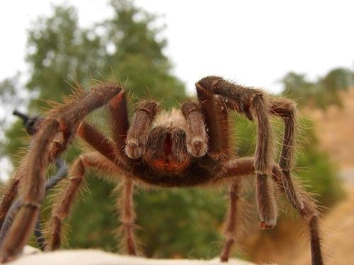 Взрослые тарантулы