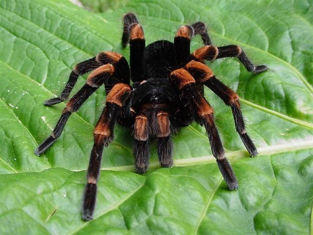 Распространение тарантула