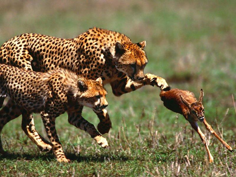 гепард на охоте за газелью