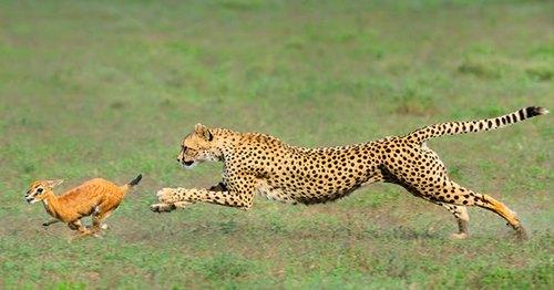 бегун гепард