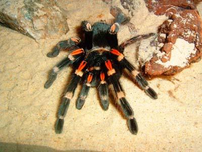 Яйцекладка у тарантула