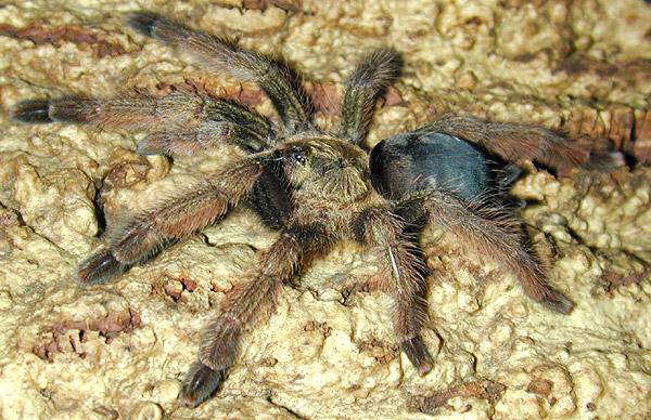 Туловище самки тарантула