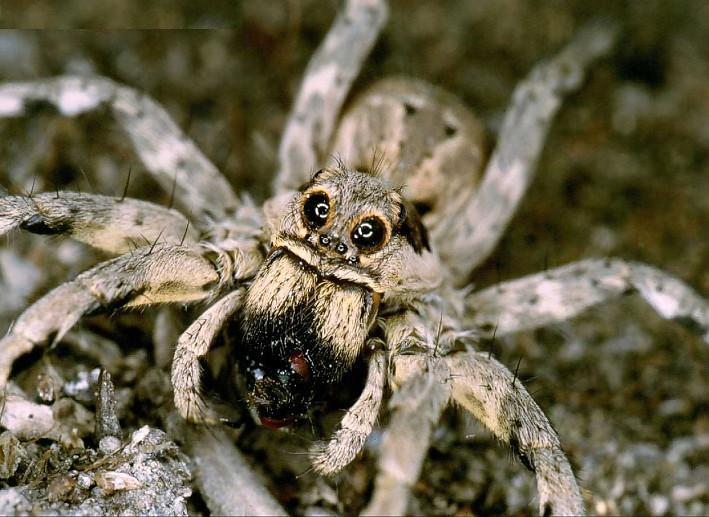 Гибель самок тарантула