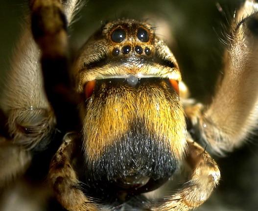 Процесс старения у тарантулов