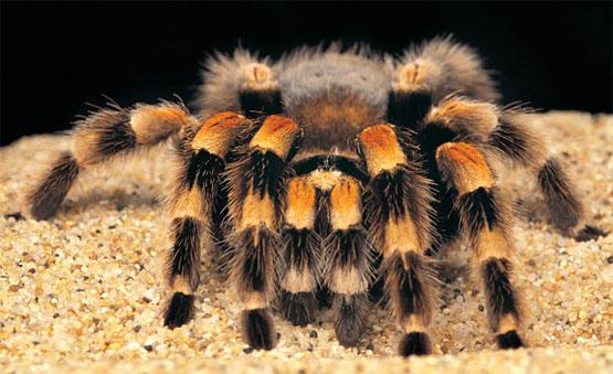 Ухаживания тарантулов