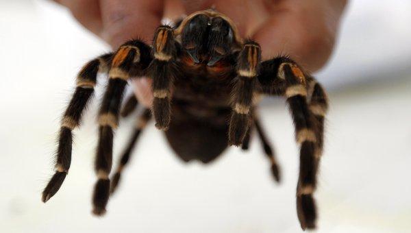 Оплодотворение тарантулов