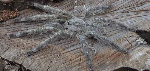 Брачный период у тарантулов