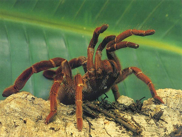 Цикл развития и расы тарантула