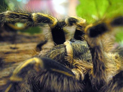 Распределение разных рас тарантулов
