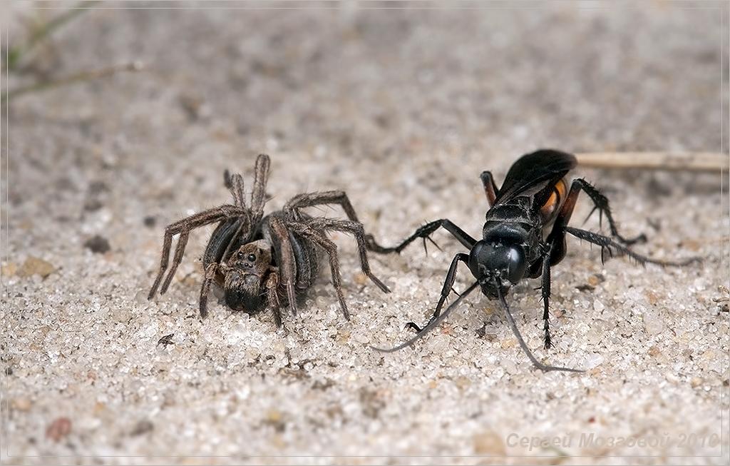 Редко удается увидеть борьбу осы и тарантула
