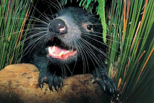 tasmanijskij-dyavol